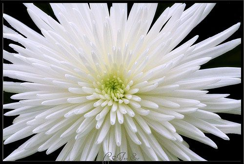 114 best flowers and plants images on pinterest flowers garden chrysanthemum white spider mightylinksfo