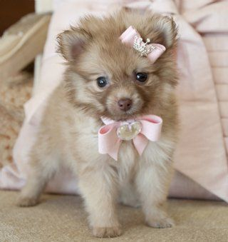 Tiny Chocolate Pomeranian Princess SOLD! Moving to Titusville with her New Brother! - Pomeranian Puppies - Cassie's Closet