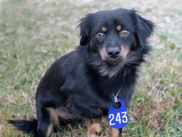11/28/16- SUPER URGENT - HOUSTON FACILITY IS OVER CAPACITY -BANDIT - ID#A472532 I need a foster home. My name is BANDIT I am a male, black and brown Chihuahua - Long Haired and Dachshund - Longhaired. My age is unknown. I have been at the shelter since Nov 17, 2016. This information was refreshed 55 minutes ago and may not represent all of the animals at the Harris County Public Health and Environmental Services.
