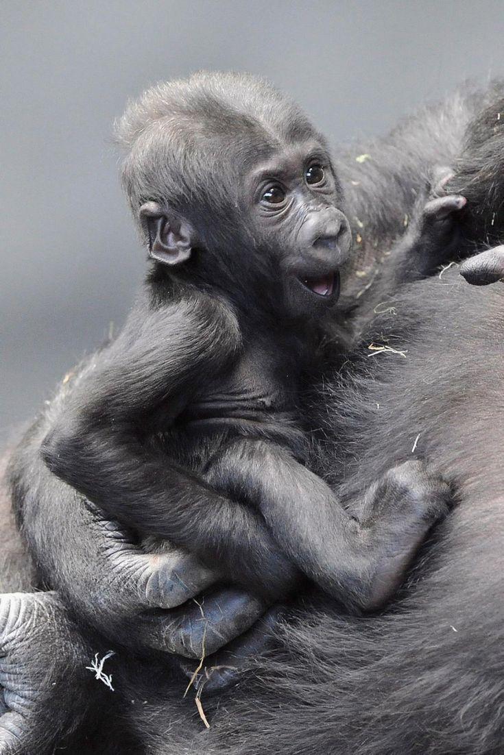 Baby animals photos baby animals ny daily news - Smiling Gorilla Photos Adorable Smiling Animals Smiling Animalsbaby
