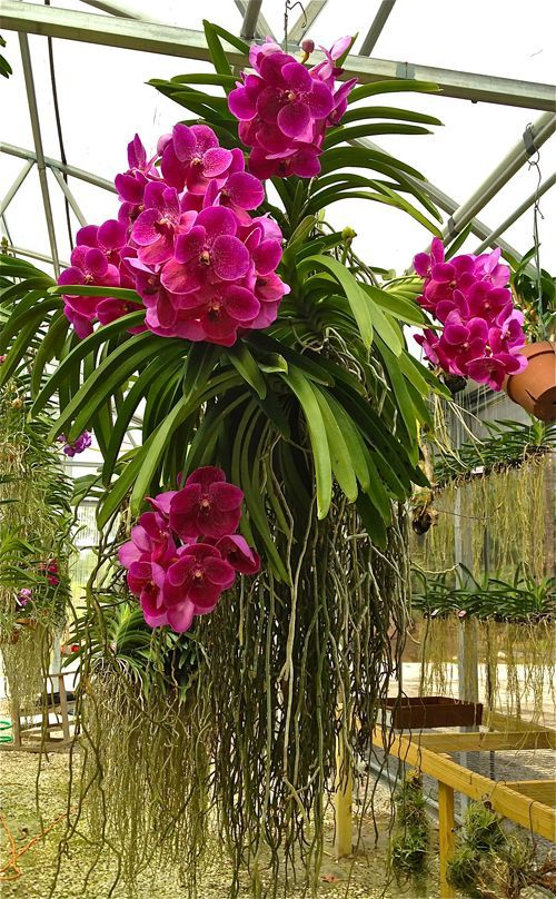 Vanda Orchids like bright light, warm temperatures, and a coarse potting medium. More care tips at: http://www.houseplant411.com/askjudy/how-do-i-care-for-my-vanda-orchid