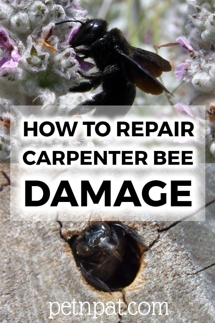 How To Repair Carpenter Bee Damage In 2020 Carpenter Bee Pet Hacks Bee