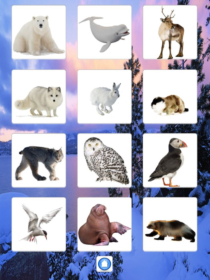 Северные животные картинки для детей дошкольного возраста