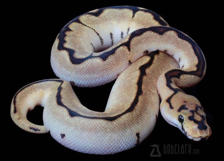 spider clown ball python