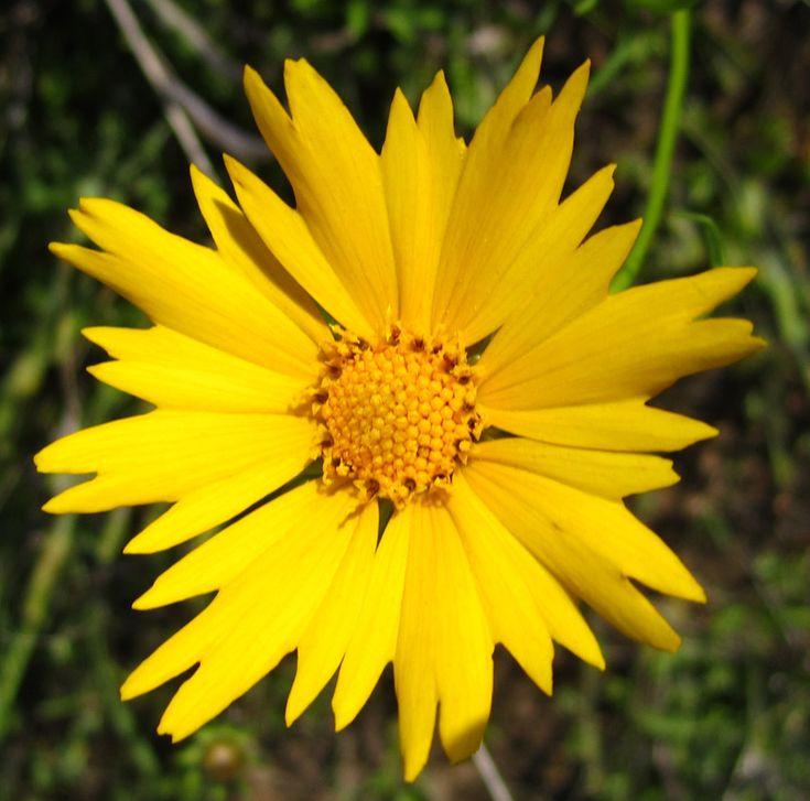 12 best Oklahoma Wildflowers images on Pinterest ...