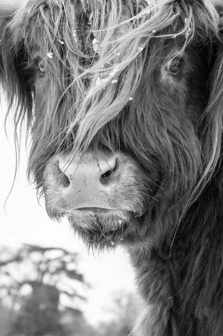 Highland Cattle: This animal looks so kind and gentle. A very nice Black and White photo!