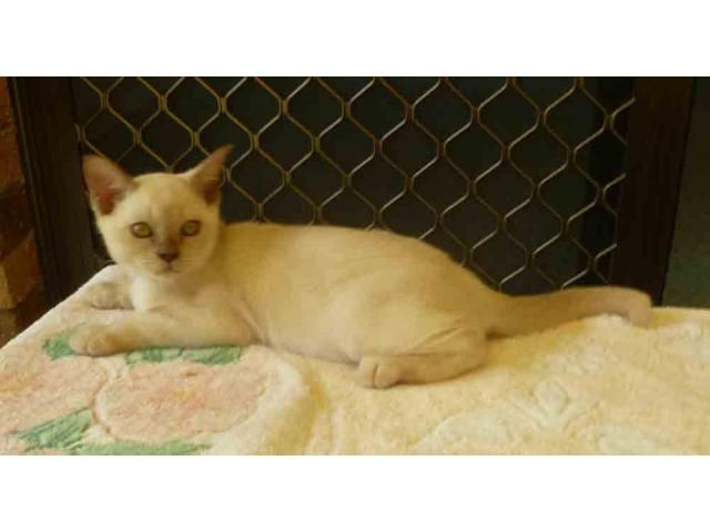 Burmese Kittens Available. is listed For Sale on Austree - Free Classifieds Ads from all around Australia - http://www.austree.com.au/pets/cats-kittens/burmese-kittens-available_i2410