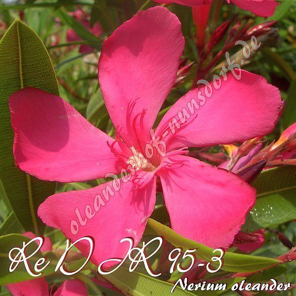 Alle Info's zum Oleander
