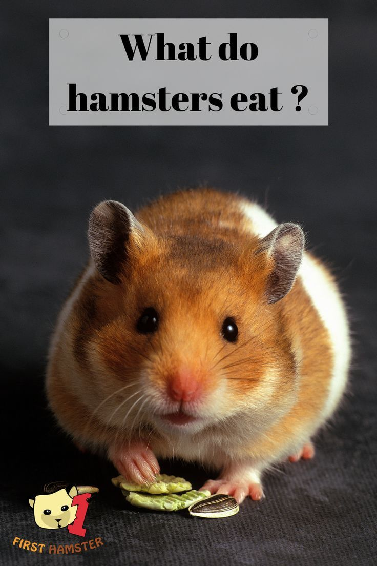 First Off Hamsters Are Omnivores That Means They Can And Will Eat Anything From Plant Based Food To Grains To Meat An Hamster Food Syrian Hamster Hamster