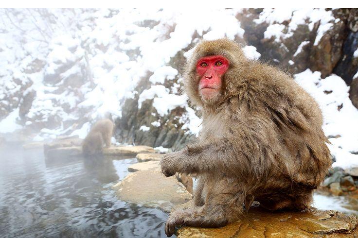Sneeuwaapjes  Japanners zijn gek op de onsen (warmwaterbronnen), maar ook de Japanse makaken, of sneeuwaapjes, verwennen zich graag in deze natuurlijke spa. In de Nagano-prefectuur ligt het apenpark Jigokudani, waar de vele apen in de winter afdalen vanuit de bergen om zich in het warme water van de onsen te verwarmen.