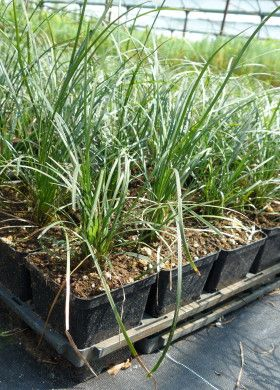 Ophiopogon japonicus - #Convallaria - #lilyturf - #ofiopogão - #maohabe  It's a #perennial #evergreen herbaceous, #slow #growing.  Erbacea #perenne #sempreverde a #crescita #lenta. Visit our website for more information!