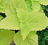 """Coleus 'Big blonde'    This coleus, believe it or not, will take 107°F (42°C) full, hot sun. They can tolerate low humidity or high humidity, it doesn't matter.    A very tough plant, is has bold chartreuse leaves with dark magenta stems. It gets 24 to 36 inches (60 to 91 cm) tall and 12 to 14 inches (30 to 36 cm) wide.     To keep it from getting """"leggy"""", keep the top growth pinched off!"""