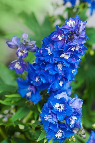 Bright blue delphiniums #gardensthatwin #gardening #garden #gardens #flower…
