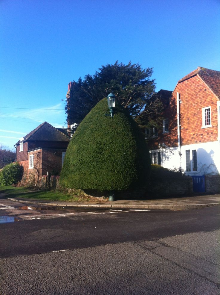 Lamp post inside topiary tree! Winchelsea, Sussex