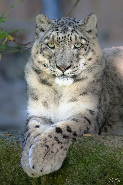 ~~ Snow leopard \ Panthera uncia ~ Solitary, habitat the high mountains of Central Asia, specifically The Himalayas, endangered. They are rare on their home ranges due to continued poaching for their fur which has dwindled their numbers to 3,000-10,000 left in the wild and 370 in captivity.