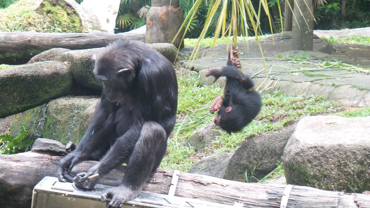 Singapore Zoo has some wonderful animal exhibits, loved these chimpanzees.