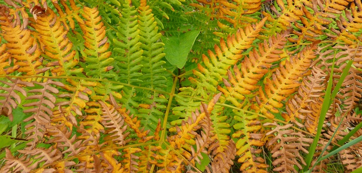 the end of summer means another step in the life cycle of ferns -- they'll be back in the spring -- bigger and more of them!