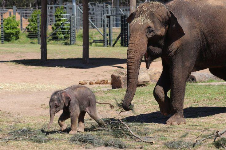 2_Taronga Elephant Calf