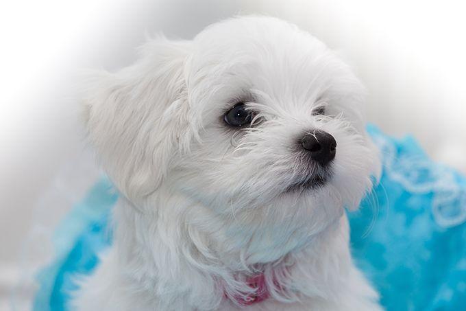Maltese Puppies Dogtim Maltese Puppies Dogtime Maltese