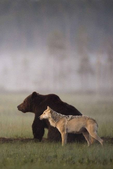 "digdaga: Photographer Lassi Rautiainen recently captured the profound partnership between a she-wolf and a brown bear in the wilds of northern Finland. For days, he witnessed the strange pair meet every evening to share food after a hard day of hunting. No one knows when or how this relationship was formed, ""but it is certain that by now each of them needs the other."" - Source"