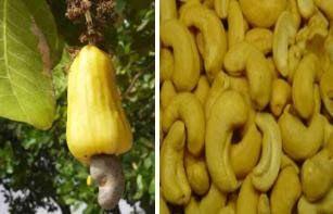 """CAJÚ - Anacardium occidentale - caju """"CCP 76"""",  humile - caju-anão, microcarpum – cajuzinho, do tupi-guarani acayu ou aca-iu, com o significado ano, uma vez que os indígenas contavam a idade a cada safra. A fruta é a castanha, oleaginosa consumida assada ou verde nos pratos quentes - o maturi. Seu pedúnculo floral, pseudofruto amarelo ou vermelho, é carnoso, rico em vit C. Os indígenas preparam um vinho, o mocororó, que em Moçambique tem a fama de trazer de volta as lembranças perdidas."""