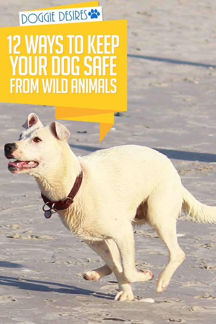 Scared of everything that can hurt your dog outside your home? Be prepared. Here's 12 ways to keep your dog safe from wild animals. >> http://doggiedesires.com/how-to-keep-your-dog-safe-from-wild-animals/