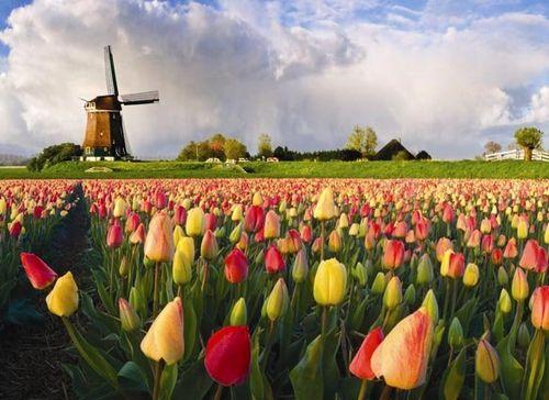 tulip fields of Holland, Netherlands