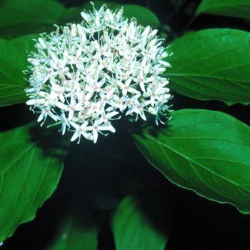 Silky Dogwood | Cornus amomum