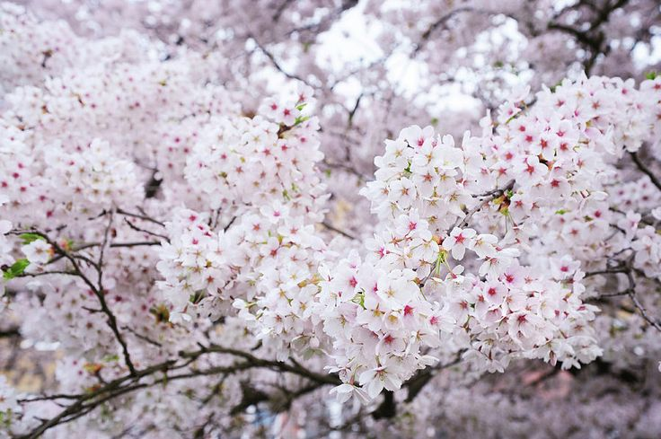 White Veil Of Prunus Bloom. Spring Pastels Photograph by Jenny Rainbow