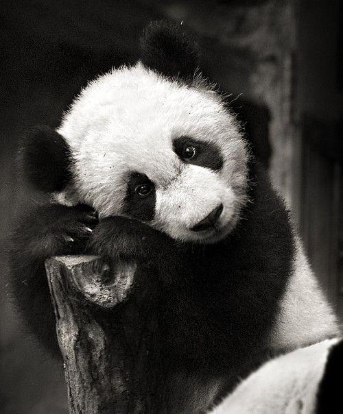 p a n d a:  Pandas Bears, Pandas Eye, Oso Pandas, Adorable Pandas, Black And White, Senior Photo,  Coon Bears, Giant Pandas, Adorable Animal