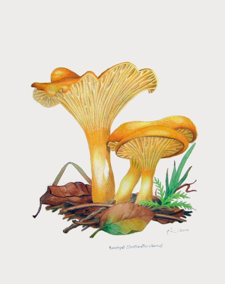 ekeyart: Illustration of chantarelles, watercolour and coloured pencils  /  ilustración de chantarelas, acuarela y lapices de colores.