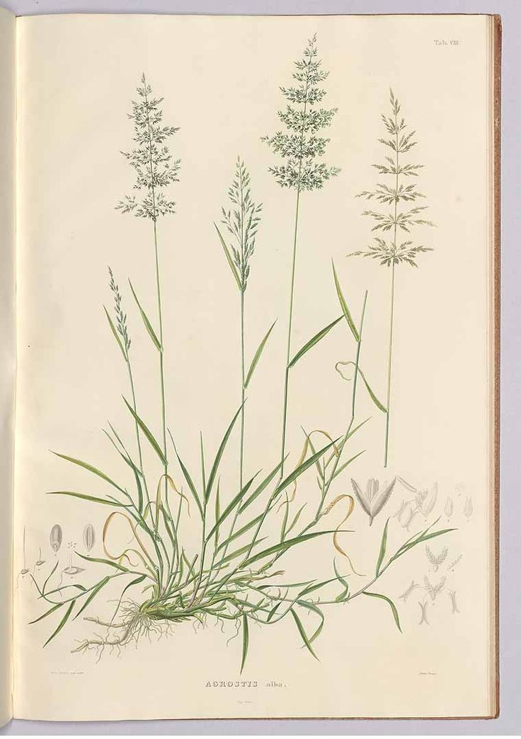 241921 Poa nemoralis L. [as Agrostis alba L.] / Meyer, G.F.W., Flora des Königreichs Hannover, vol. 1: t. 8 (1842) [W. Eberlein]
