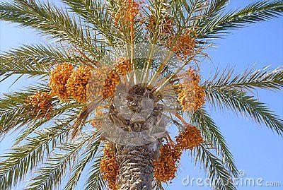 Date Palm from below.  https://www.dreamstime.com/stock-photography-image101700462#res18554481  #date #palm #plant #tropical #background #backdrop #design #designer #designthinking #webdesigner #branding #brandidentity #art #idea #beautiful #summer #beauty #image #photo #photography #poster #posterdesign #closeup #season #tree #fruit #advertisement #marketing #calendar #coverpic #pálmafa #pálma #datolya #datolyapálma #gyümölcs #trópus #háttér #növény #nyár #fotó #kép #reklám #poszter