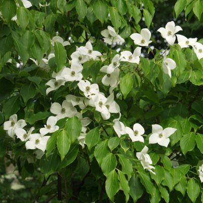 Cornouiller Fleurs Arbustes Plantes D 39 Ext Rieur