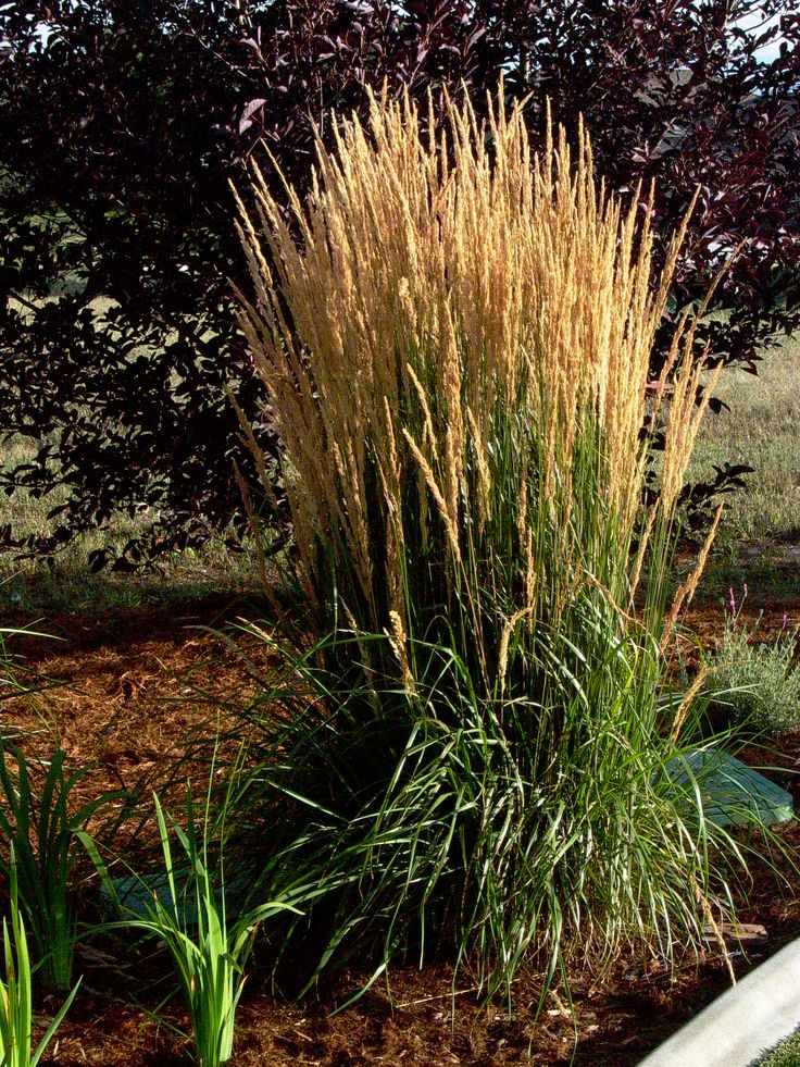 27 best images about ornamental grasses on pinterest for Best ornamental grasses for landscaping