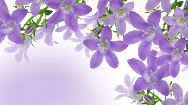 Lavender desktop wallpaper lavender flowers pictures new wallpapers maggie lavender - Lavender purple wallpaper ...