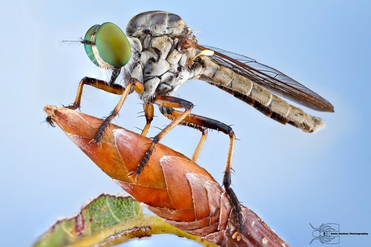 Robber Fly - Ommatius sp.
