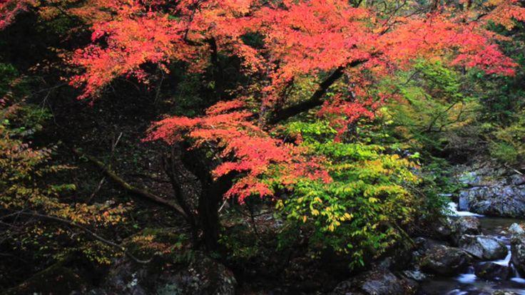【日本紅葉の名所100選】音水渓谷(兵庫県) ( Autumn leaves, 단풍, les feuilles d'automne, hoja...