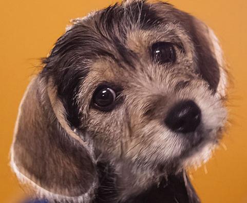 beagle schnauzer mix - I have one now!!  A schneagle!