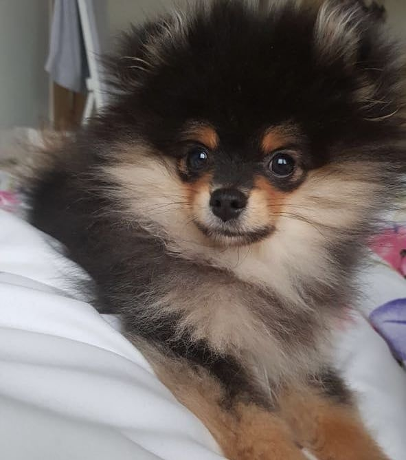 I Woke Up Like This Pomeranian Puppy Zwergspitz Welpe
