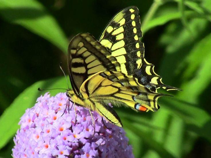 Swallowtail, Albula Valley, GR, 07.08.17