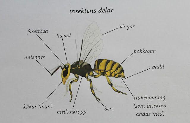 Min blogg om allt mellan himmel och jord: Insektens delar