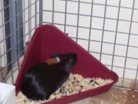 Litter Training Guinea Pigs