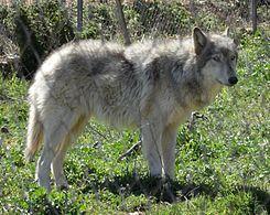 """Un perro lobo (también llamado híbrido lobo-perro, lobo híbrido o lubican ) es un híbrido canino que resulta del apareamiento de un lobo gris (diversas subespecies de Canis lupus) y un perro (Canis lupus familiaris). En inglés el término """"wolfdog"""""""