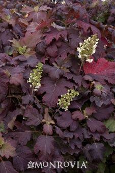 Snowflake™ Oakleaf Hydrangea in the fall!!!!