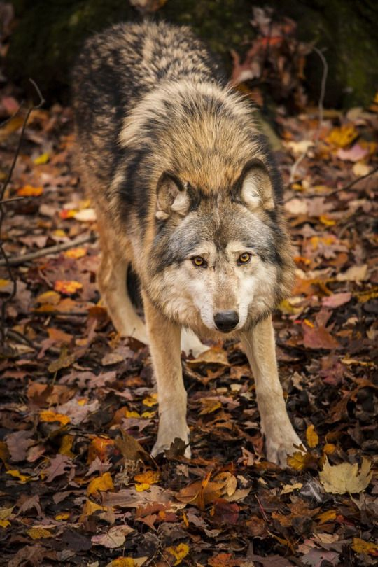 Wolf                                                                                                                                                                                 More