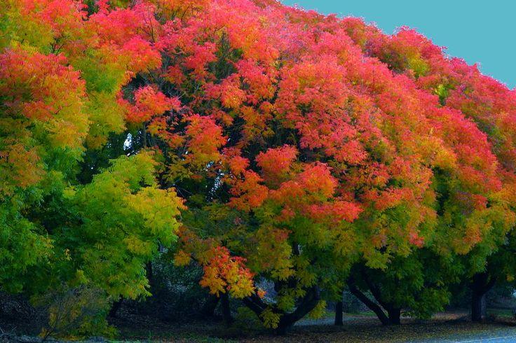 Fall Colors, Menlo Park, CA