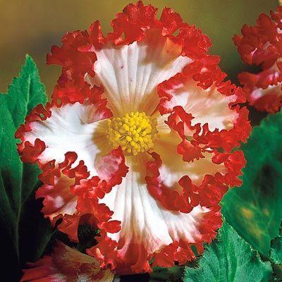 Crispa Marginata Begonia Mix – Bulbs| Spring Hill Nurseries