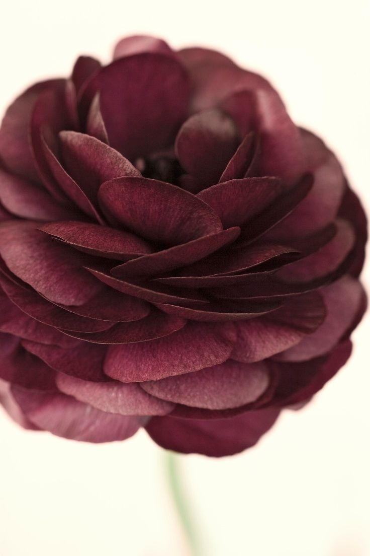 Dark red ranculus photographed by Nic Miller