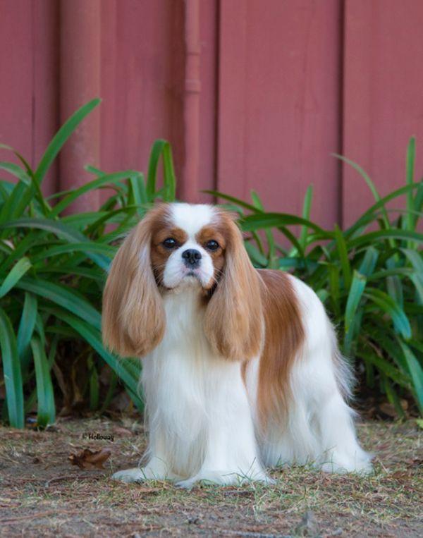 Beautiful King Charles Cavalier Spaniel Puppy King Charles Cavalier King Charles Dog